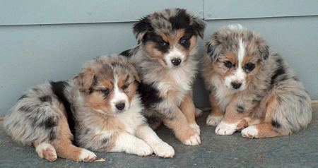 All About: Australian Shepherds