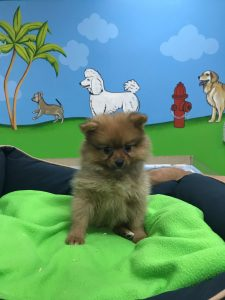 teddy bear pomeranian puppies for sale