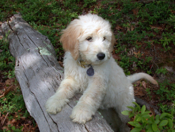 All about: Golden-doodle Puppies!